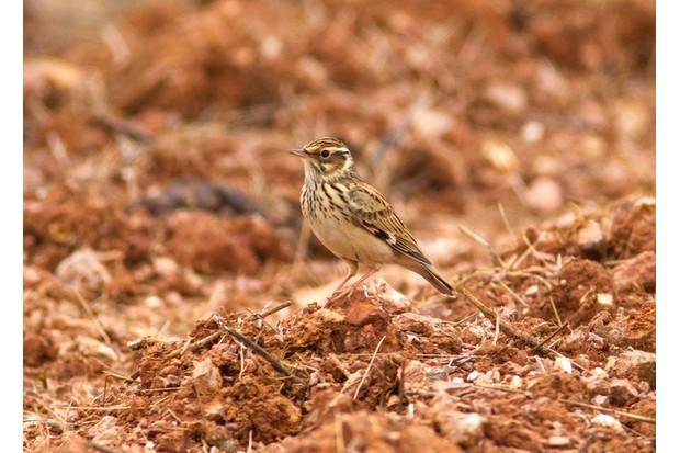 Woodlark in the Alentejo, Portugal