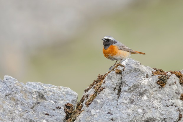 Photograph of a Colourful Male Common Redstart perched on a rock against a pale green background next to Malham Cove in the Yorkshire Dales National Park England UK. The Photo was taken in April when it had probably just arrived for the Summer after wintering in Africa or the Arabian Peninsula. The male Redstart is a very striking and colourful bird with a reddish orange breast and tail. The tail colourful tail is flashed as a part of its mating display.