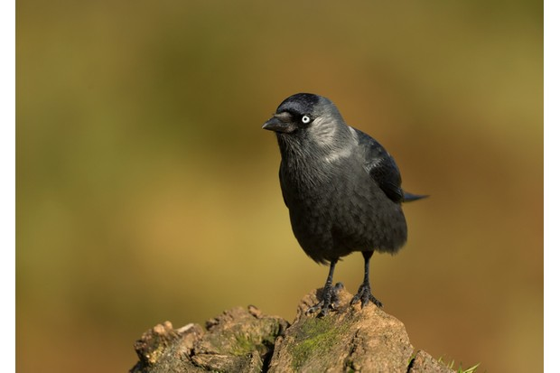 Jackdaw on a post against colourful background