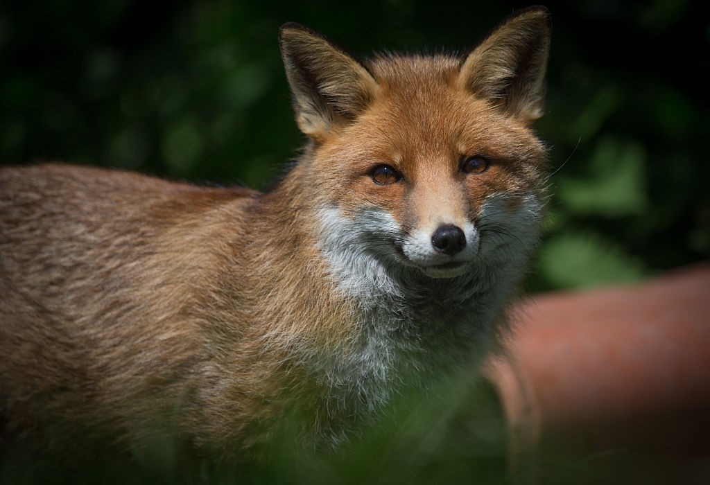 HIGHBRIDGE, ENGLAND - MAY 18:  A resident fox is seen at Secret World Wildlife Rescue in East Huntspill near Highbridge on May 18, 2015 in Somerset, England.  Prime Minister David Cameron pledged that the MPs would be given a free vote on scrapping Labour's 10 year-old controversial hunting ban if the Conservatives won the election and some Tory MPs are demanding the vote to be included in this month's Queen Speech. However the threat of the repeal of the act has raised serious concerns with a number of animal welfare charities who are opposed to hunting.  (Photo by Matt Cardy/Getty Images)