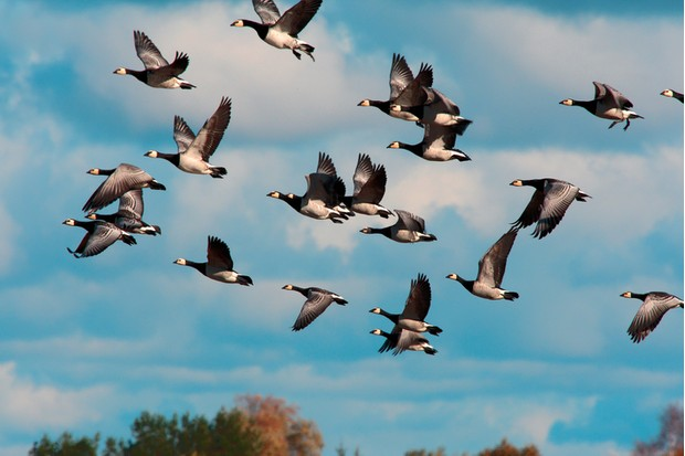 geese migrating to south in autumn from wildlife preserve named Matsalu, Estonia
