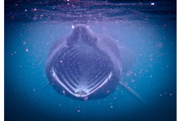 Basking Shark feeding on plankton during the bloom in the Scottish waters off the Isle of Coll.