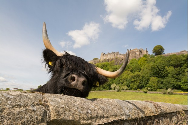 Black highland cow looking over a stone wall below Stirling Castle on a bright summer day