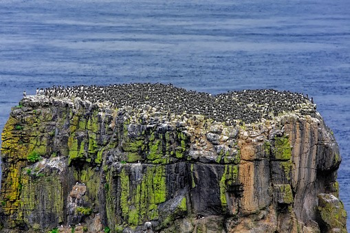 Common murres, or guillemots on Rathlin Island, Ireland