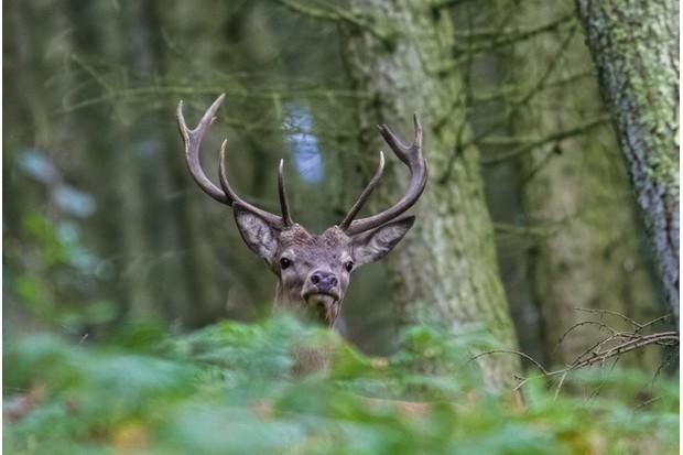 red deer stag on exmoor