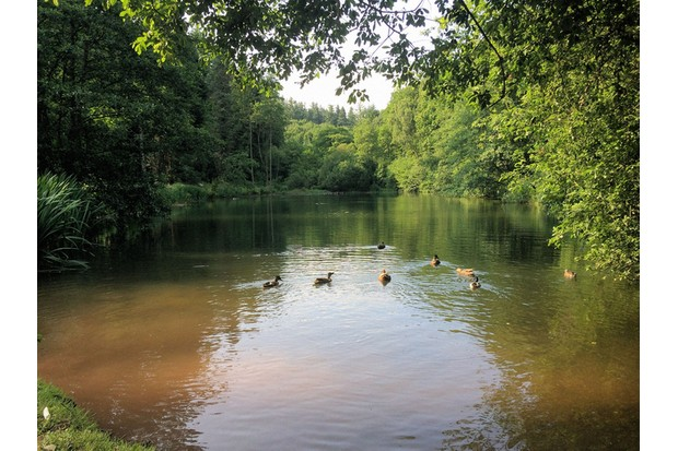 Ducks on Cannop Ponds lake in the Forest of Dean