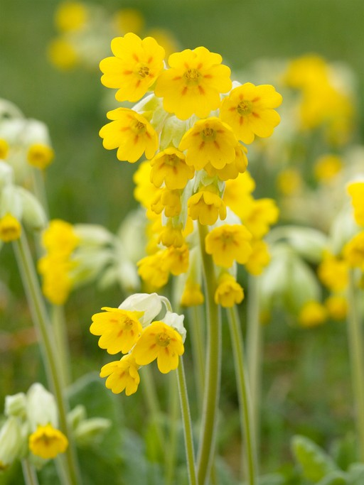 A cluster of cowslip (