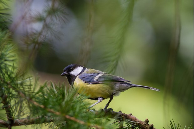 A Great Tit (Parus major) on a Pine Tree