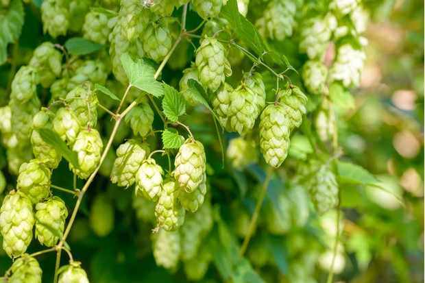 Female flowers of Humulus lupulus, also called hops, in the forest under the warm sun
