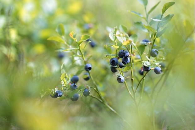Vaccinium myrtillus (bilberry); macro shot
