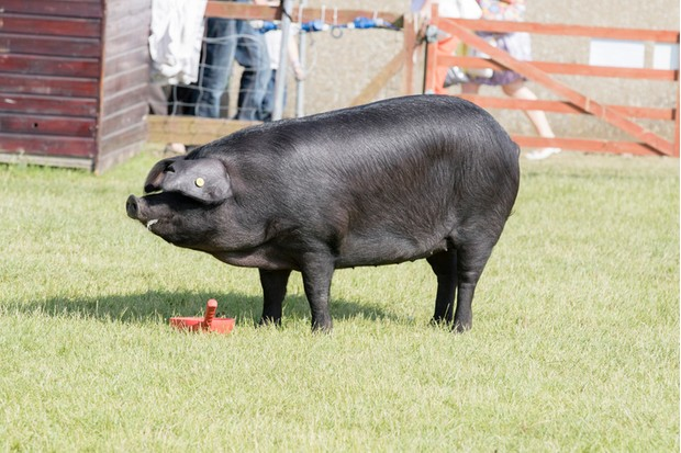 Harrogate, North Yorkshire, UK. 15th July, pig being judged at the Great Yorkshire Show 15th July, 2015 at Harrogate in North Yorkshire,  England