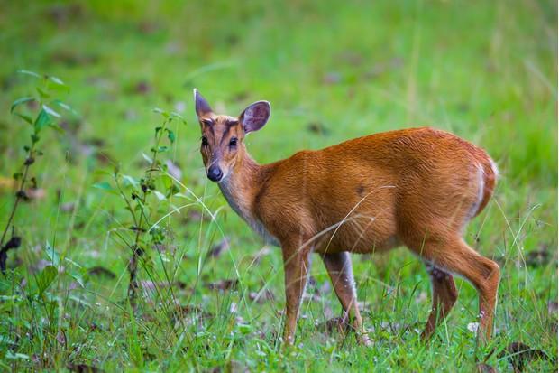 Young Barking deer (Muntiacinae ) in nature at Khao Yai national park ,Thailand