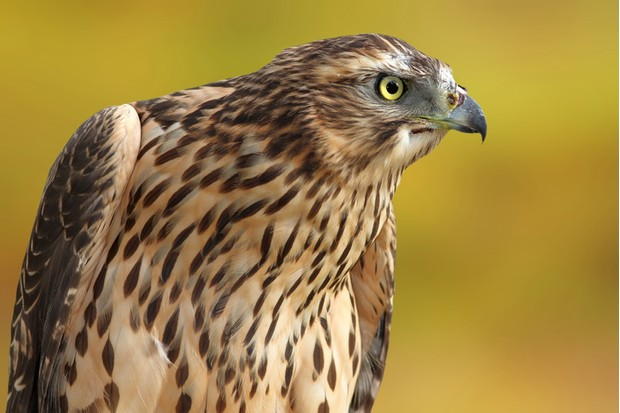 Accipiter nisus portrait over out of focus background, eurasian sparrowhawk