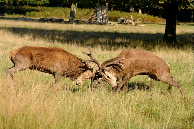 Red Deer, Deer, Cervus elaphus - Rut time.Red Deer, Deer, Cervus elaphus - Rut time. Fighting of two stags.