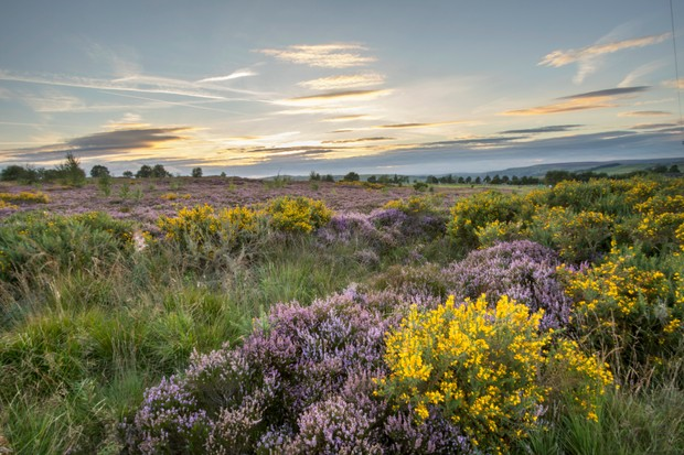 Heather in flower at sunset in Norland, Halifax, West Yorkshire, UK