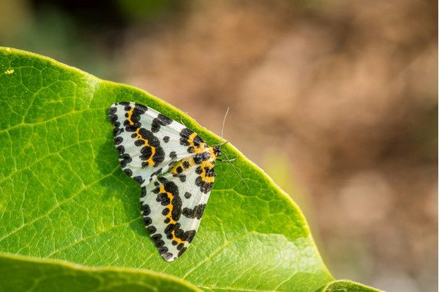 Abraxas grossulariata butterfly sitting on a green leaf in the sun