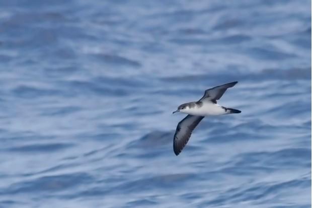 Manx Shearwater, Puffinus puffinus in flight