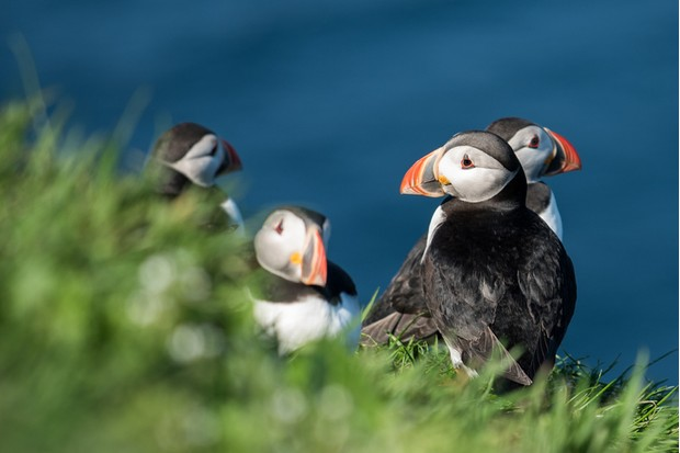Puffins, Faroe islands