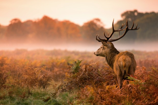 Red deer stag in misty morning