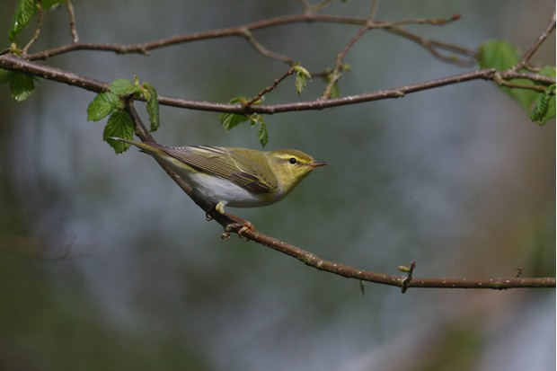 Wood warbler, Phylloscopus sibilatrix, single bird on branch, Warwickshire, May 2014