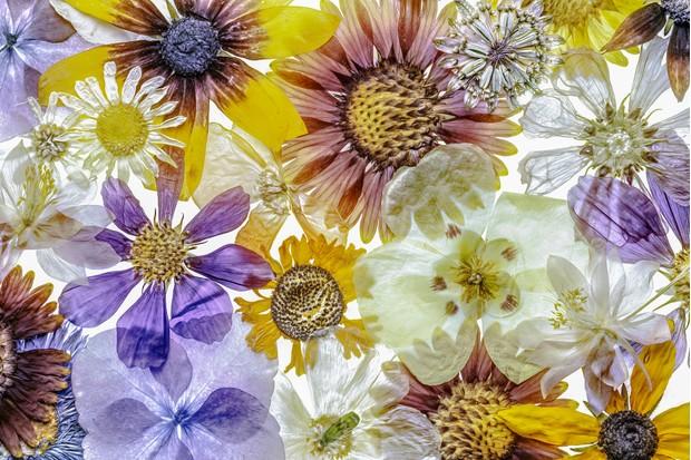 Pressed flower heads