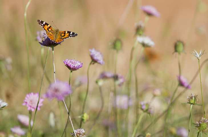 Painted lady butterfly, (Vanessa cardui) at rest on scabious in wildflower meadow, Sierra de las Nieves, Andalusia, Spain.