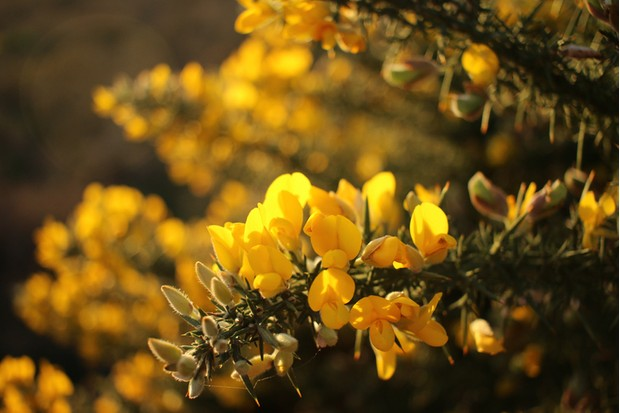 Close-up of gorse flowers backlit against the setting sun