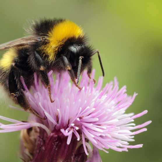 Summer Macro bumblebee image on thistle,taken at Glan Oughterard Co Galway.
