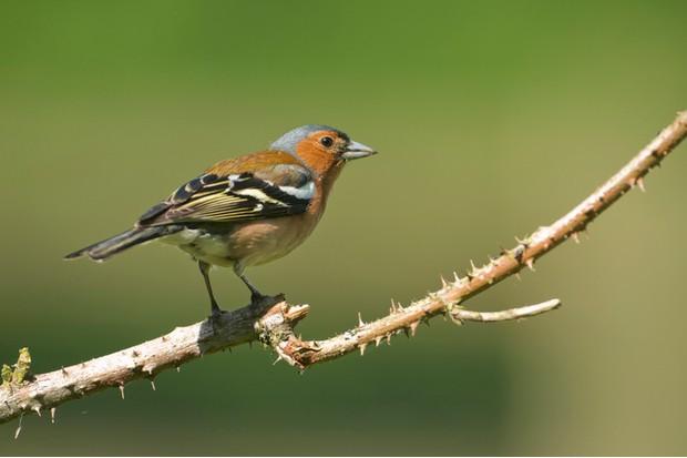 Common Chaffinch (Fringilla coelebs) perched on bramble.