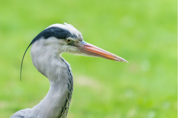 Grey herons are large predatory birds, common in the UK