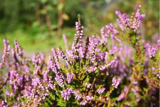 Heather, Scotland,Flower,Purple