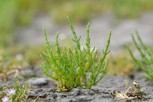 Common glasswort (Salicornia europaea)