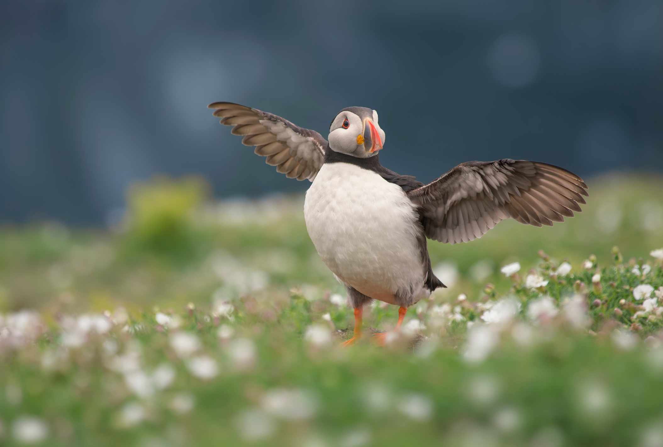 A puffin stretches its wings among summer flowers on the island of Skomer in Wales.