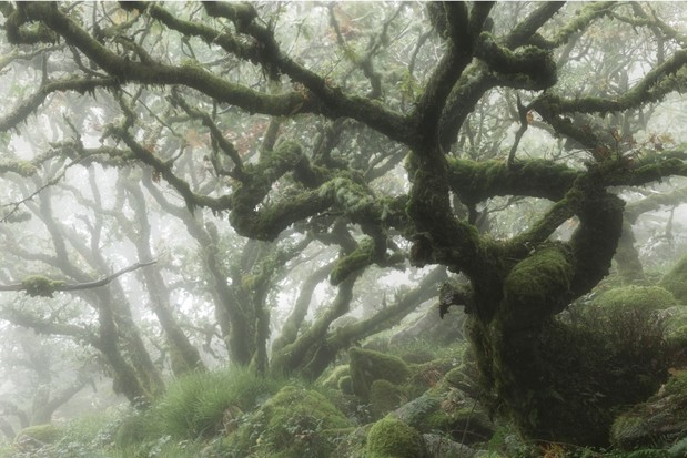 Fog inside an ancient oak forest, Wistmans Wood, Dartmoor, Devon