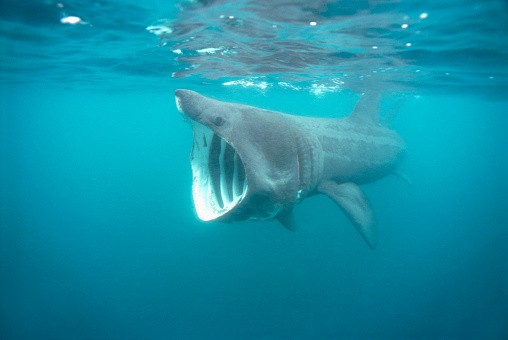 Basking Shark ©Getty