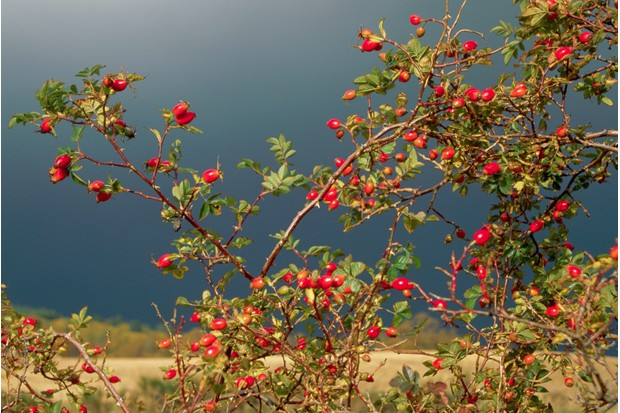 The scarlet hips of a dog rose shine against a dark and cloudy sky.