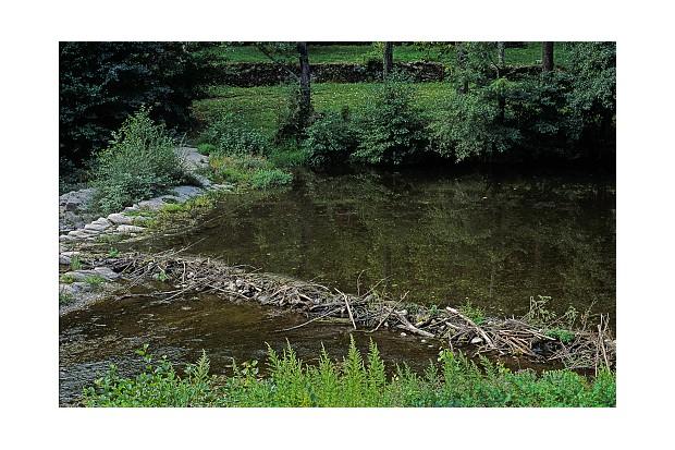 Castor fiber (Eurasian beave, European beaver) - dam