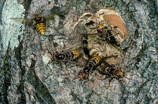 Vespa crabro (european hornet) - nest entrance in a tree trunk