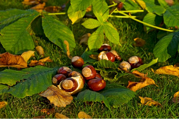 Conkers from a horse chestnut tree (aesculus hippocastanum).