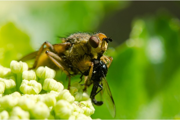 Common fly feeding on small insect in order Diptera, sitting on Alexanders (Smyrnium olusatrum)