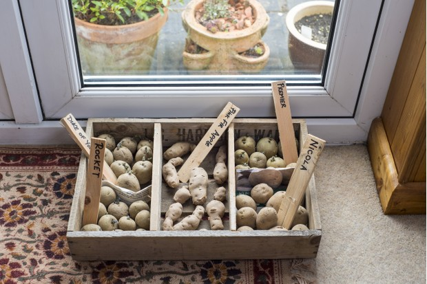 Potato (Solanum tuberosum) 'Duke of York', 'Rocket', 'Pink Fir Apple', 'Premier' and 'Nicola' seed tubers, in chitting tray by lounge french windows, Norfolk, England, February