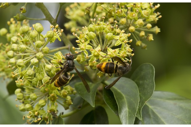 Asian Predatory Wasp (Vespa velutina) introduced species, two adults, feeding on Common Ivy (Hedera helix) flowers in autumn, Dordogne, France, November