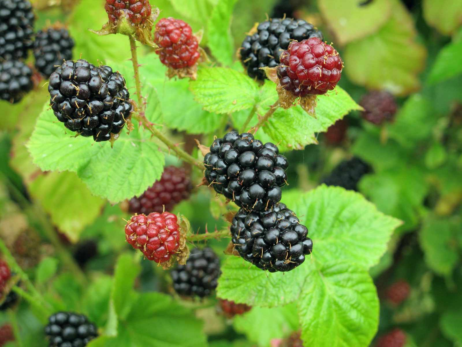 Blackberry Images Fruit