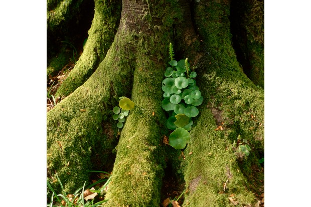 Navelwort at Base of Beech Tree