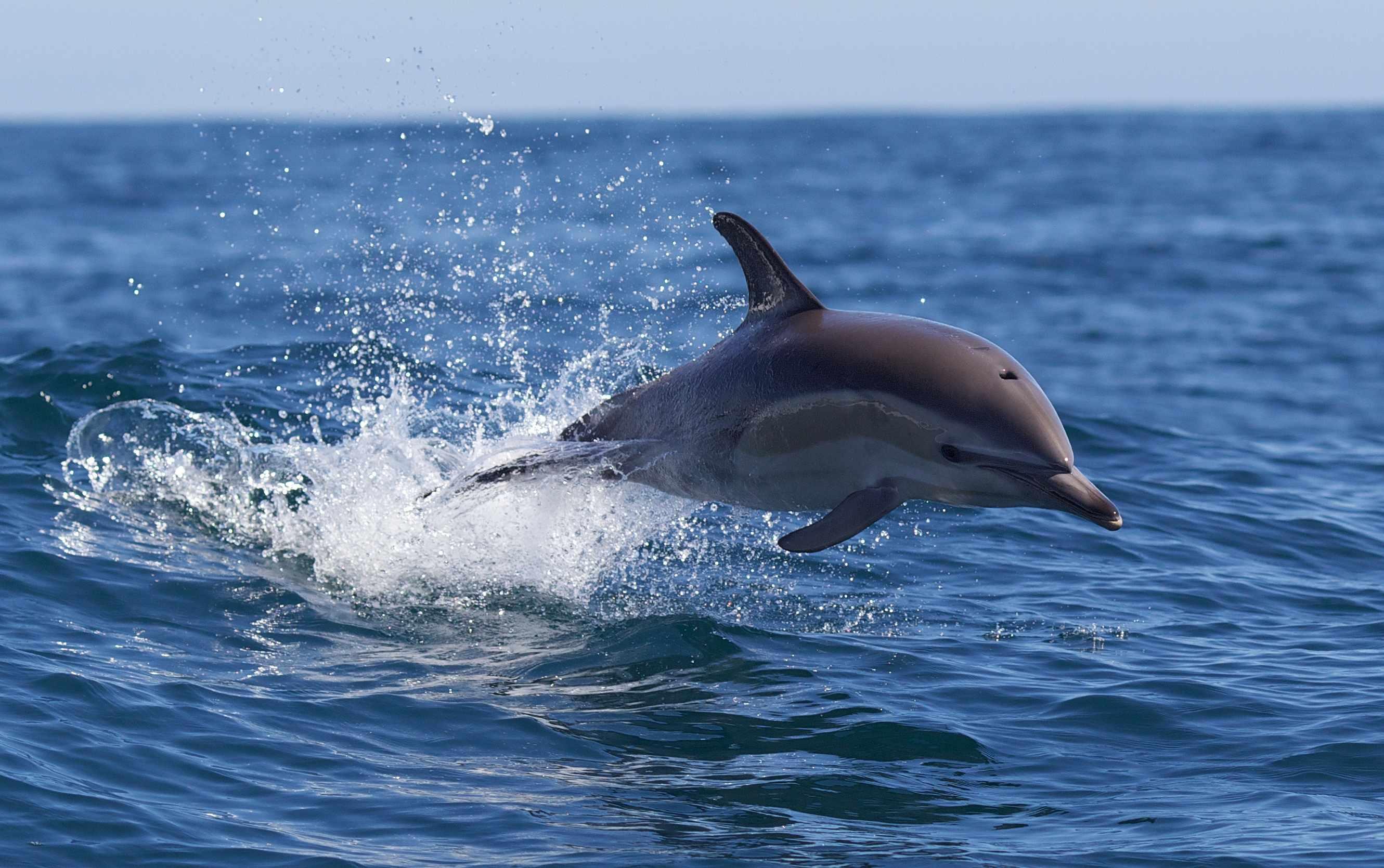 Common Dolphin ©Getty