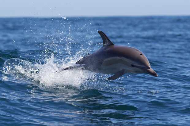 Common Dolphin ©Getty