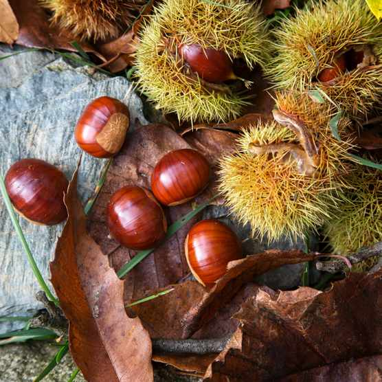 Ripe chestnuts on table