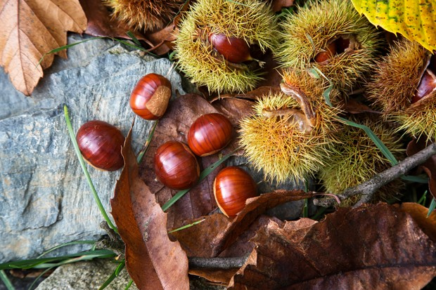 Ripe chestnuts, Castanea sativa, lying in their already open prickly hulls on the forest floor in the sun.