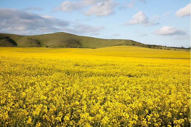 Yellow oil seed rape crop flowering with chalk scarp slope at Alton Barnes, Wiltshire, England. (Photo By: Geography Photos/UIG via Getty Images)