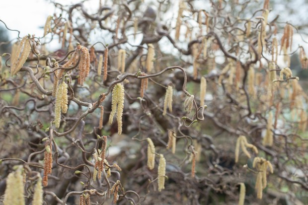Hazel catkins in early spring